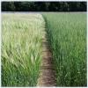Яровые зерновые культуры
