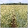 Озимые зерновые культуры